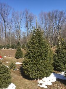LANDSCAPE EVERGREENS DIRECT FROM THE GROWER