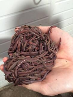 Fishing Bait Worms, African Night Crawlers (about 250)