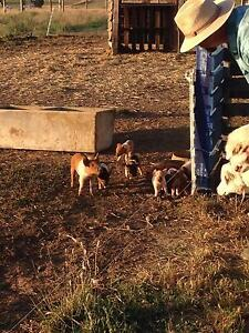 Miniature Pet Piglets for Sale Meadows Mount Barker Area Preview