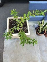 Strawberry and Lemon Guava Plant NEW Maylands Bayswater Area Preview