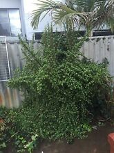 Large jade plant Menora Stirling Area Preview