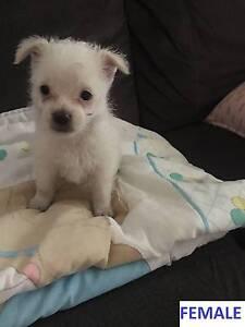 Maltese X Chihuahua Puppies Dapto Wollongong Area Preview