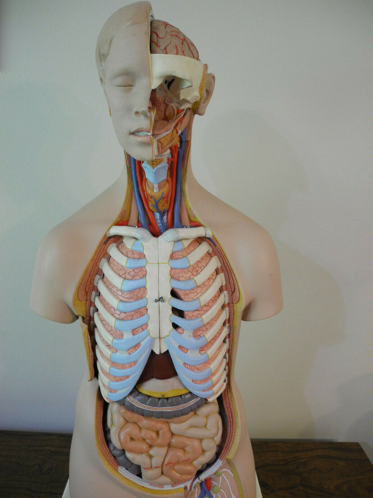 3B Scientific Classic 16 Part Torso B11 With Book In Many Languages - $275.00