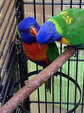 2 pairs of Rainbow Lorikeets Noble Park Greater Dandenong Preview