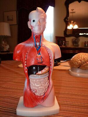 Human Torso Body Model Anatomy Anatomical Medical Internal Organ For Teachings
