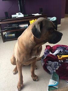 Female Mastiff