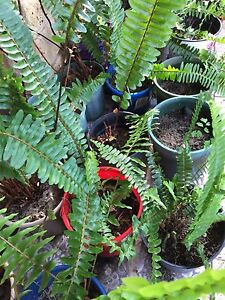 Ferns and miscellaneous potted plants FROM $3 Bull Creek Melville Area Preview