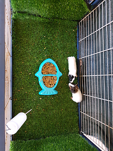 Guinea pigs 3 weeks old Seville Grove Armadale Area Preview
