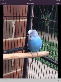Cute budgies (with cage)