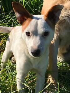 Beautiful Mini Foxie Pup Picton Wollondilly Area Preview