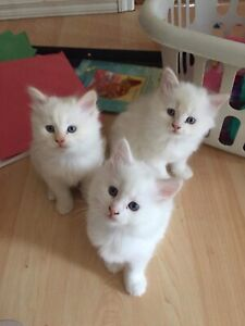 Pure bred rag doll kittens