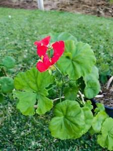 Geranium flowers pots plants