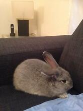 Dwarf rabbit Aberfoyle Park Morphett Vale Area Preview