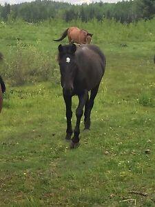 Percheron/Quarter Horse filly.