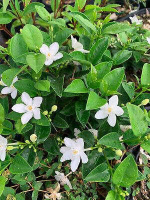 *asian Snow* Jasmine Fragrant Live Plant 2