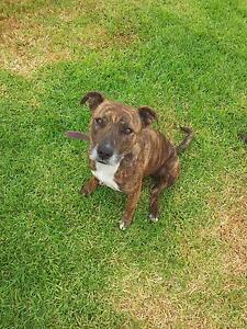 Brindle staffy cross - In need of home. Munno Para West Playford Area Preview