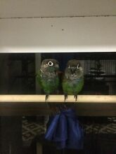 Pearly Conures for Loving Home Palm Beach Gold Coast South Preview