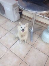 Japanese spitz X Pomeranian Southport Gold Coast City Preview
