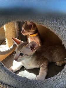 Oriental kittens
