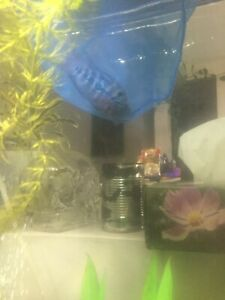 Flowerhorn | Buy or Sell Fish in Edmonton | Kijiji Classifieds