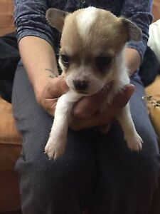 Chihuahua puppies Taree Greater Taree Area Preview