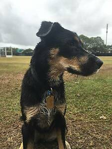 NZ Huntaway x Kelpie - Working dog - Playful, affectionate Windsor Brisbane North East Preview