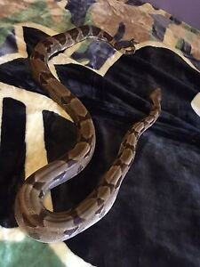 Looking to rescue / buy a boa