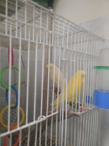 Bonded Lutino Budgies... Petersham Marrickville Area Preview