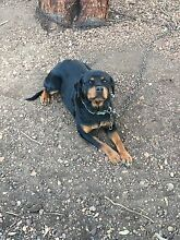 Purebred Rottweiler Albany 6330 Albany Area Preview