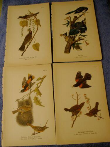 4 lot 1890 Chromolithograph, Color Bird Prints Antique King Blue Jay Oriole