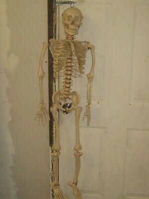 Educational University Hospitalchiropractic Skeleton Anatomical Model54 Long