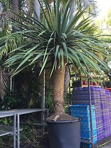 Dragon tree. Grower direct . Landsdale Wanneroo Area Preview