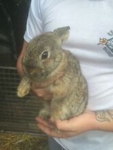 Bunny for sale to good home! Murwillumbah Tweed Heads Area Preview