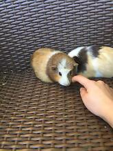 Cute female Guinea pigs West Ryde Ryde Area Preview