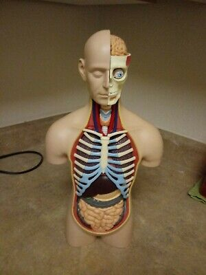 15 Inches Deluxe Torso Model Medical Simulation Human Anatomy 54 Parts Model