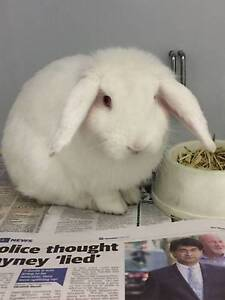 Found: White rabbit at Vetwest Canning Vale Canning Vale Canning Area Preview