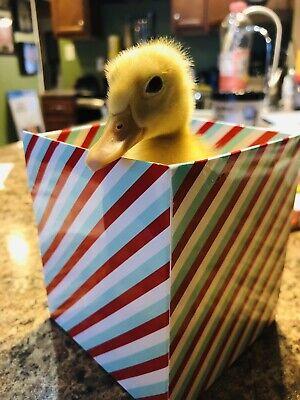 3 Hatching Eggs Duck Pekin Rouen Mallard Duck Mix Hatching Eggs Fertile