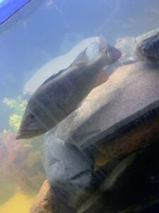 9 inch peacock bass for sale very healthy