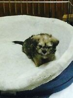 Brussels griffon x pug puppies for sale