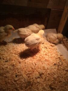 Light Sussex Chicks for sale $5