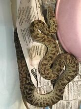 Platinum spotted Python pair Roma Roma Area Preview