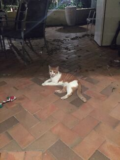 Found male ginger cat Coorparoo Brisbane South East Preview