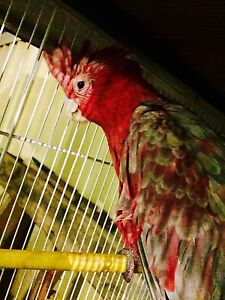 Semi - Tame Pink and Grey Galah with or without cage Cloverdale Belmont Area Preview