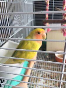 Best offer lovebird pair trade or sale
