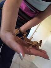 Spiny Leaf Stick Insects Greenacres Port Adelaide Area Preview
