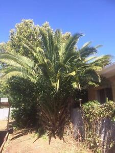 Palm Tree To Give Away Gawler Gawler Area Preview