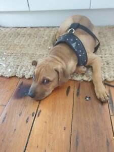 Free dog to good home | Dogs & Puppies | Gumtree Australia Redcliffe
