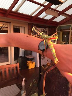 Stick Insects- Goliaths, Spiny Leaf and Cyclone Larry