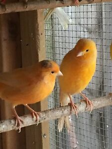 Canaries pair with cage for $70 Hampton Park Casey Area Preview