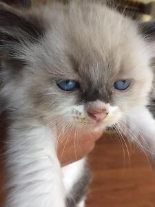 Pure Ragdoll kittens for sale Woodford Blue Mountains Preview